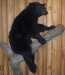 Life-Size Bear on Wall Hanger